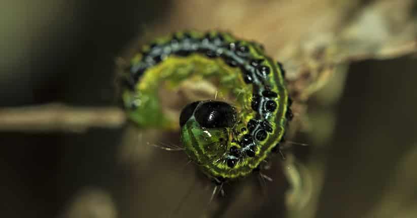Der Buchsbaumzünsler – ein Schädling im Garten