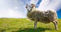 Rekordverdächtig – Schaf bietet Wolle für 30 Pullover