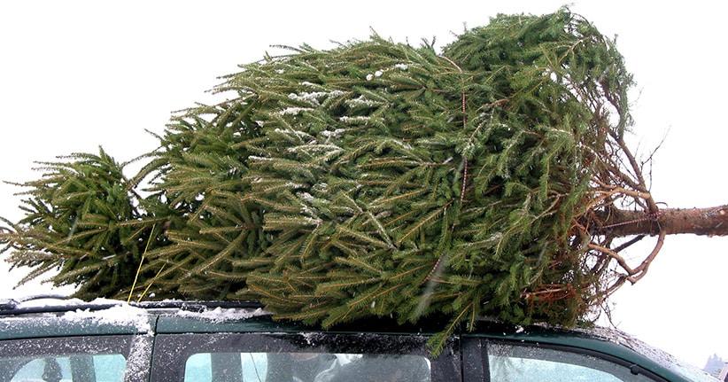 Weihnachtsbäume steigen im Preis