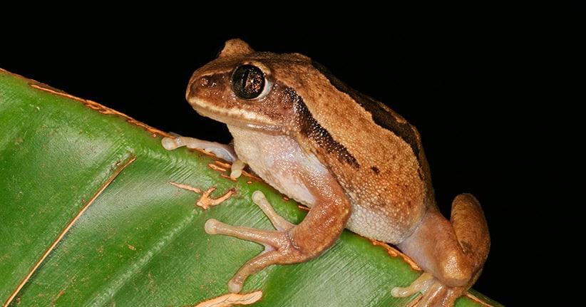 Ausgestorbener Frosch in Indien aufgetaucht