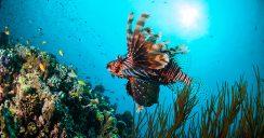 Exotisch und gefährlich – der Rotfeuerfisch erobert das Mittelmeer