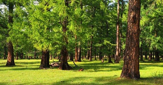 Zirbenholz - die nachhaltige und gesunde Alternative